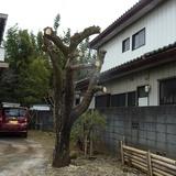 柿の木の剪定