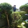 庭木の伐採、剪定-AFTER03