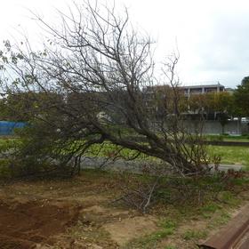 植木の伐採作業-BEFORE01