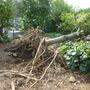 大木の伐採作業-BEFORE02