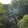 大木の伐採作業-BEFORE03