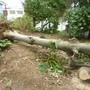 大木の伐採作業-AFTER02